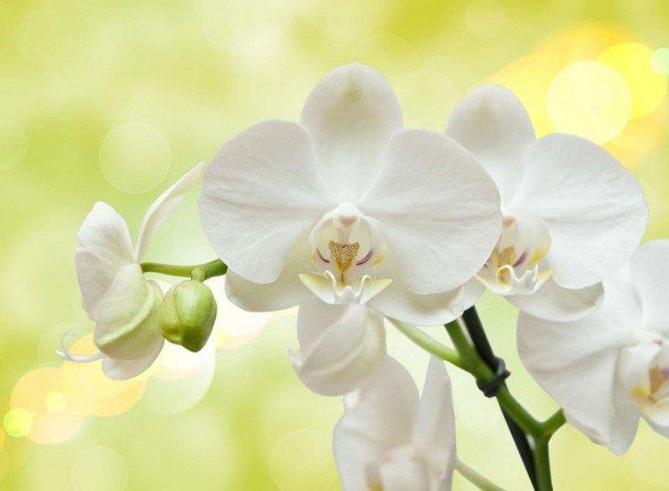 Цветя-Фототапет Орхидеи на жълт фон