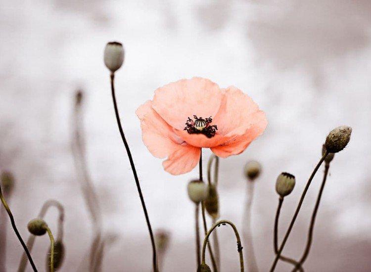 Цветя-Фототапет Макове