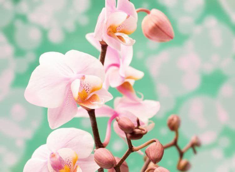 Цветя-Фототапет Розови орхидеи