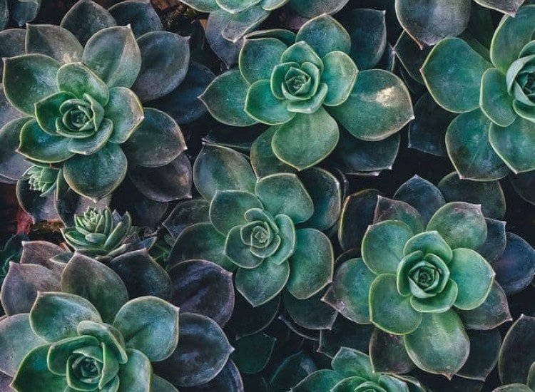 Растения-Фототапет Сукулентни растения