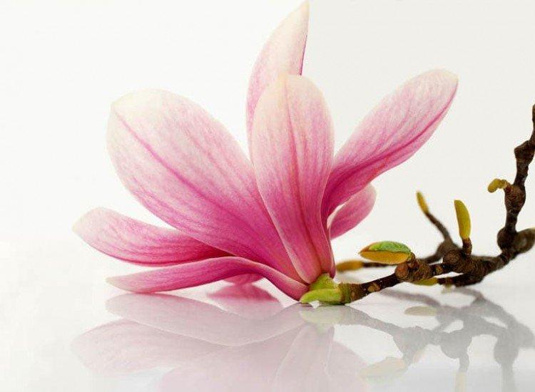 Цветя-Фототапет Цвят от магнолия