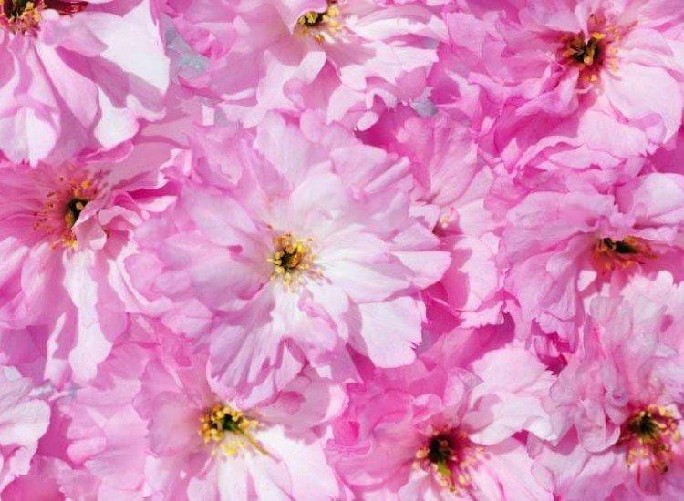 Цветя-Фототапет Розови цветя