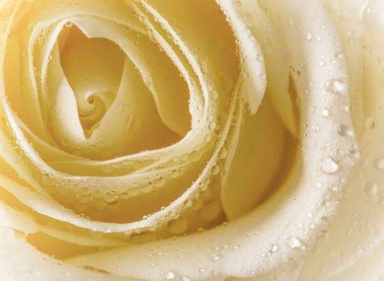 Цветя-Фототапет Жълта роза
