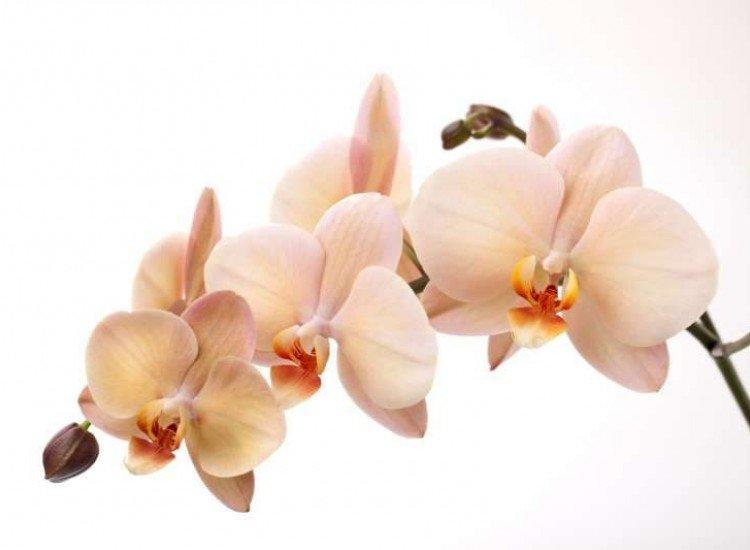 Цветя-Фототапет Орхидея крем