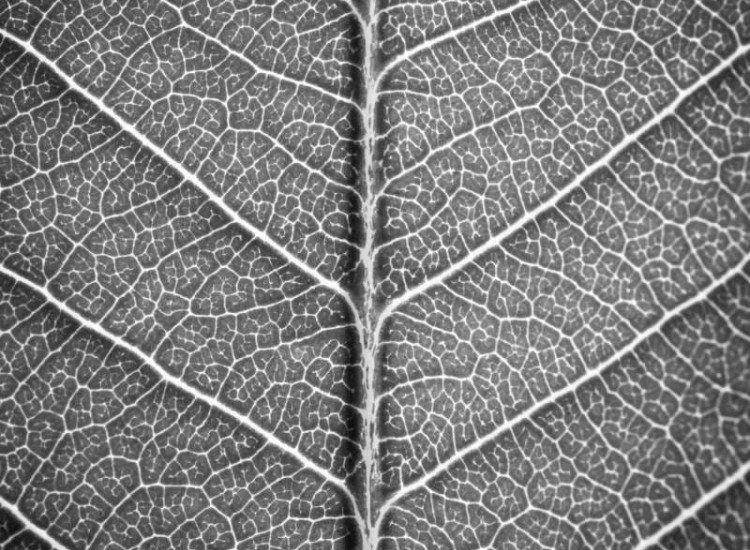 Растения-Фототапет Черно бяло листо