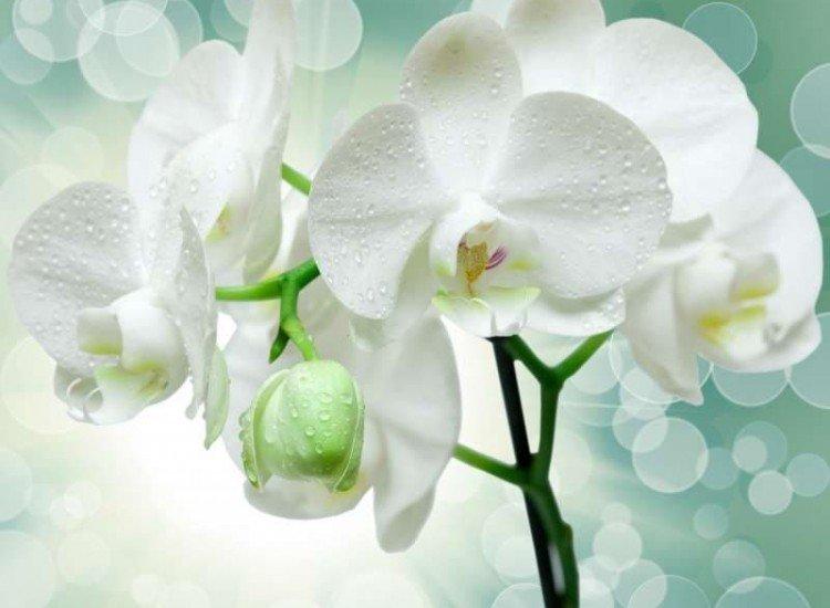 Цветя-Фототапет Бяла орхидея отблизо