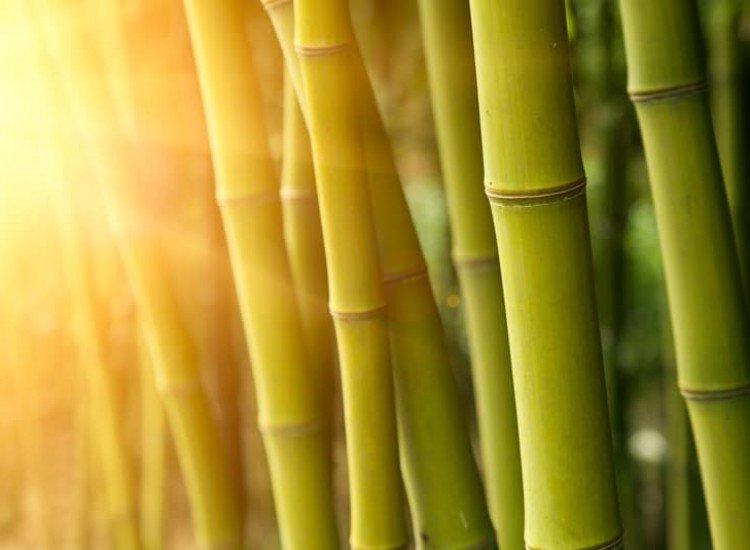 Растения-Фототапет Зелен бамбук