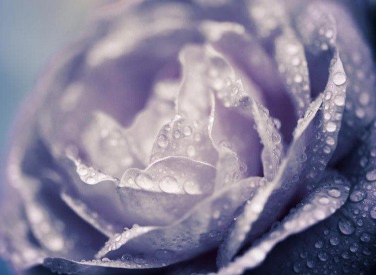 Цветя-Фототапет Дъждовна роза