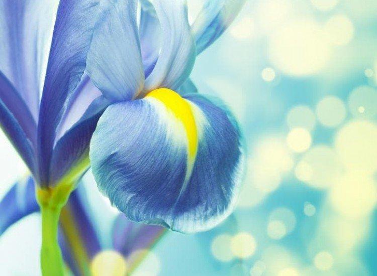 Цветя-Фототапет Красив Ирис