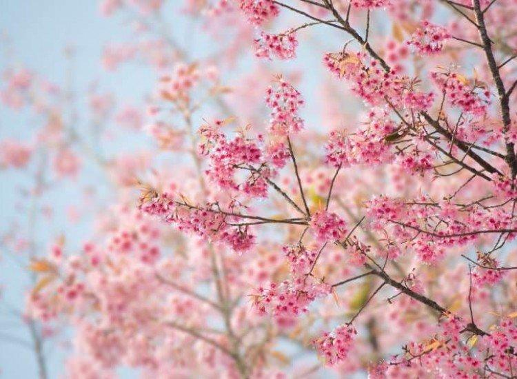 Цветя-Фототапет Черешов цвят