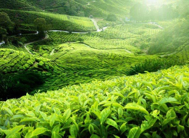 Пейзажи и природа-Фототапет Чаена плантация в Малайзия