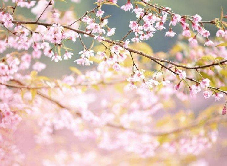 Растения-Фототапет Дива хималайска череша