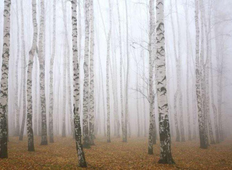 Пейзажи и природа-Фототапет Мъглива брезова горичка