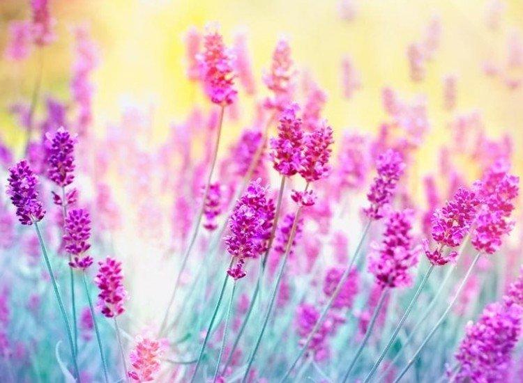 Цветя-Фототапет Лавандулови цветове