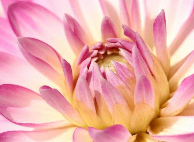 Цветя-Фототапет Розова далия